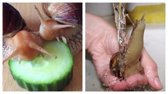 Как размножаются улитками ахатинами в домашних условиях фото