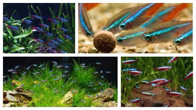 Рыбки гуппи: уход и содержание в домашних условиях