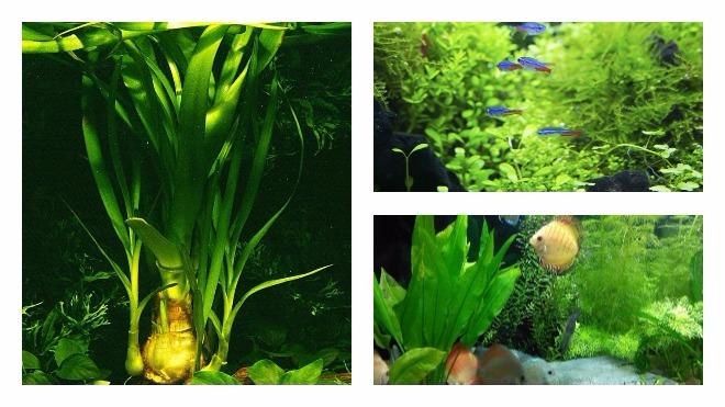 популярные виды аквариумных растений