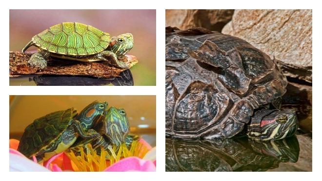 Красноухие черепахи уход в домашних условиях как  21