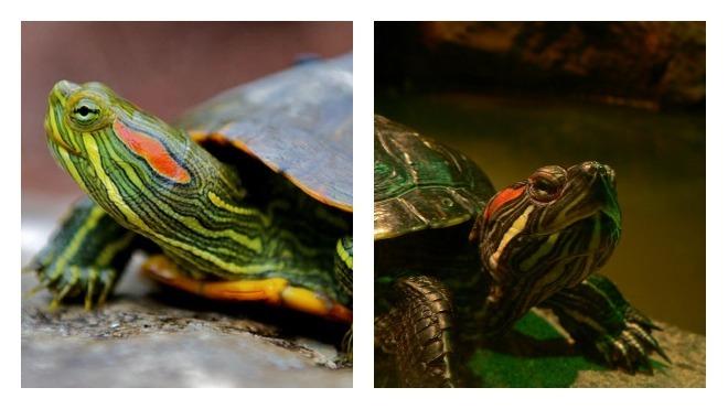 описание красноухой черепахи