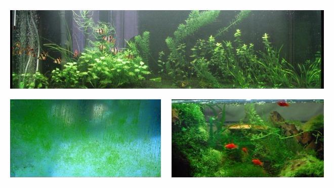причины зеленого налета на стенках аквариума