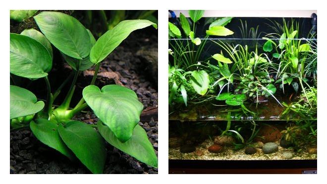 Содержание аквариумной флоры