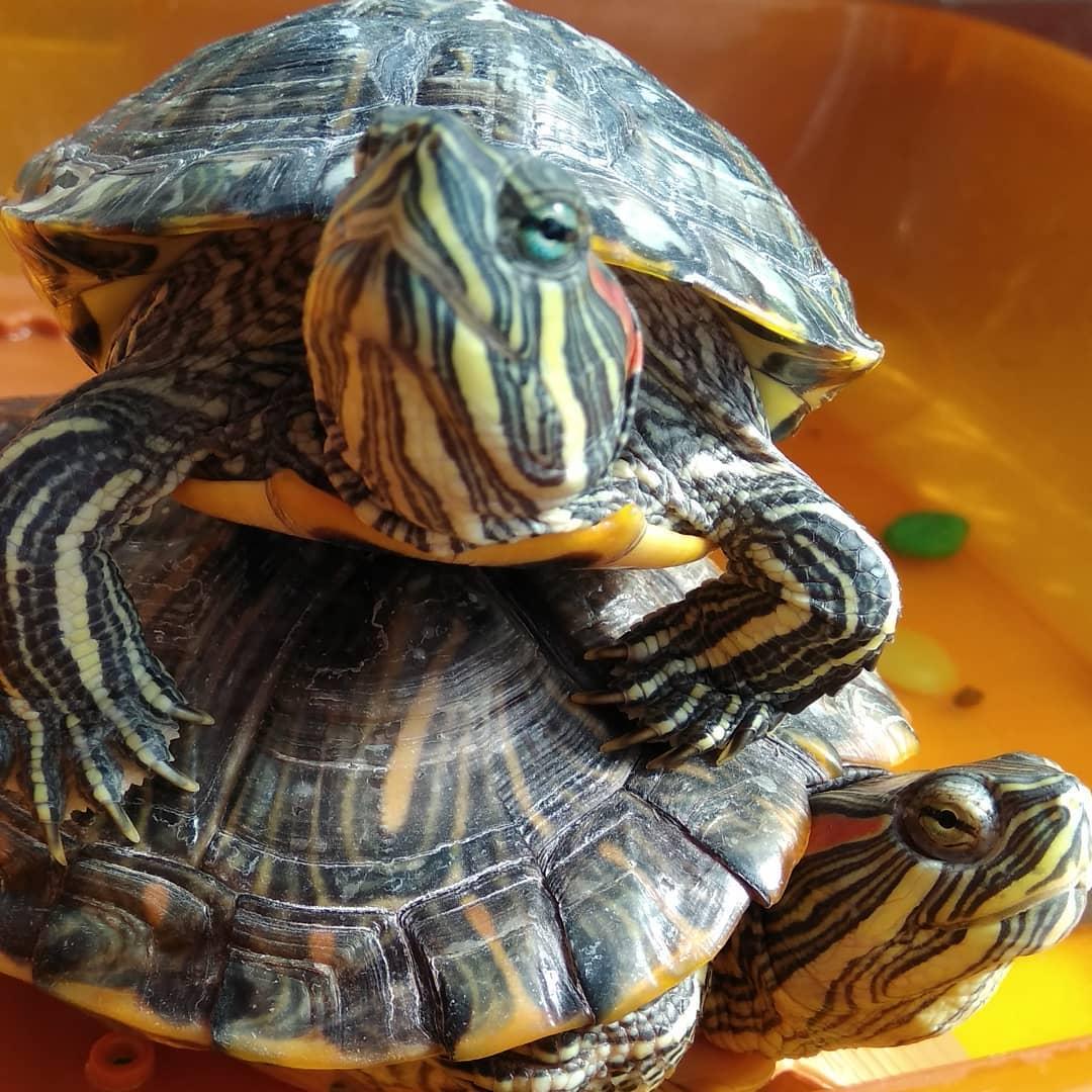 очень содержание и уход за красноухой черепахой забывайте