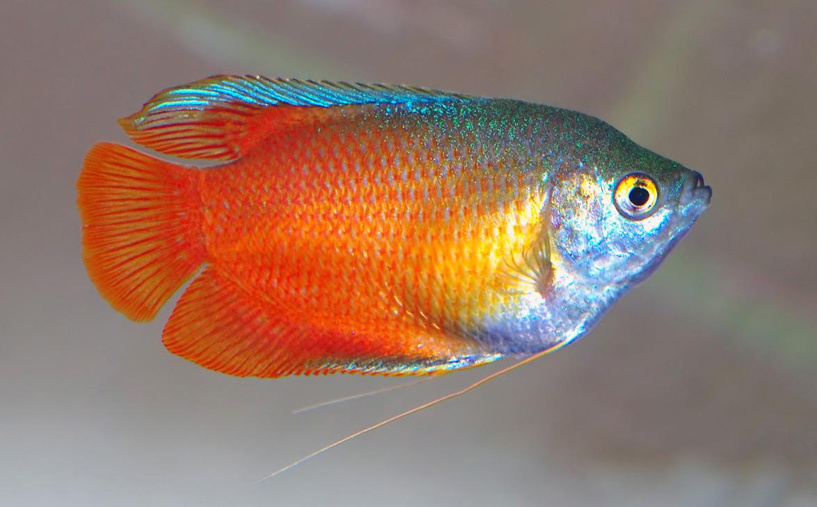 Лялиус что нужно знать про уход и содержание рыбки в аквариуме