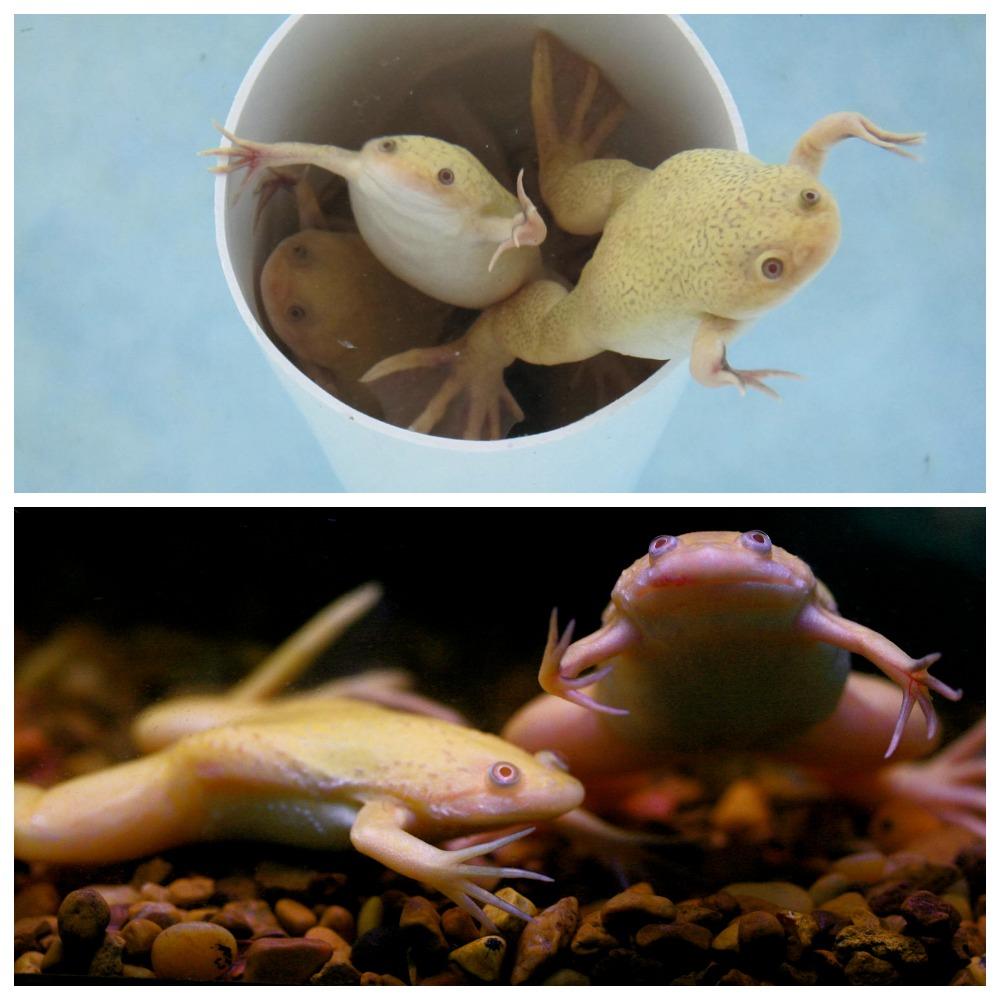 Шпорцевая лягушка - что о ней необходимо знать