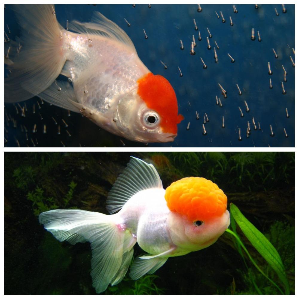 Особенности содержания рыбки красная шапочка
