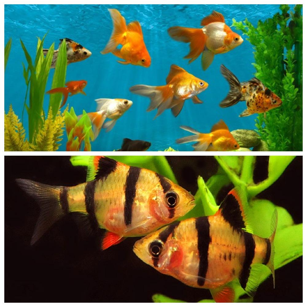 Как разводить аквариумных рыбок