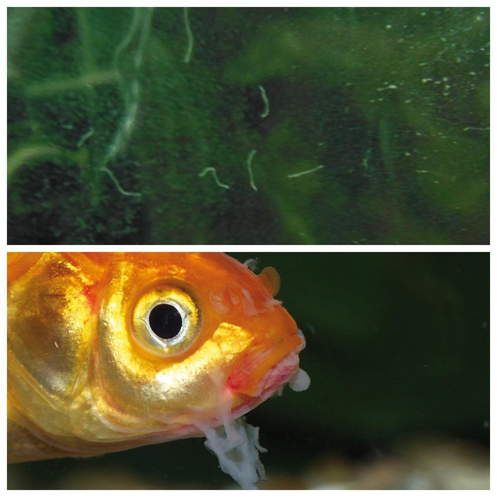 Появление нематод в аквариуме